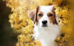 Картинка взгляд, морда, портрет, собака, цветение, кусты, цветки, форзиция