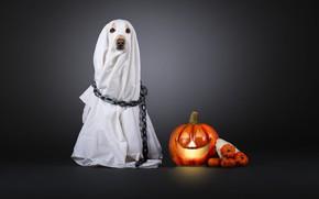 Картинка собака, цепь, костюм, тыква, белая, простыня, серый фон, накидка, хеллоуин, привидение