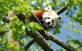 Картинка свет, ветки, поза, дерево, листва, красная панда, мордашка, малая панда