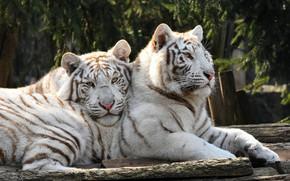 Картинка белый, взгляд, морда, тигр, поза, фон, пара, бревно, парочка, тигры, два, молодые, лежат, два тигра