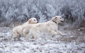 Картинка зима, иней, собаки, трава, взгляд, снег, ветки, природа, поза, парк, прыжок, поляна, игра, две, лапы, …