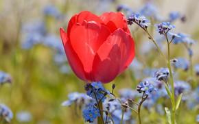 Картинка цветы, красный, тюльпан, весна, бутон, голубые, тюльпаны, незабудки