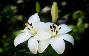Картинка цветы, темный фон, лилии, две, сад, белые, бутоны