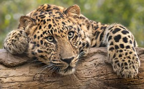 Обои взгляд, морда, портрет, лапы, леопард, бревно, дикая кошка