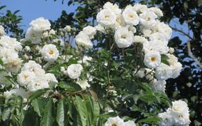 Картинка розы, белые розы, Meduzanol ©, лето 2018