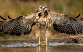 Картинка вода, природа, птица, орёл