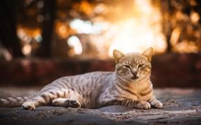 Картинка кошка, улица, лежит, серая, полосатая