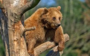 Картинка взгляд, природа, поза, фон, дерево, медведь, мишка, на дереве, сук, бурый