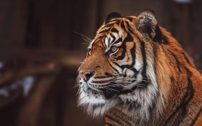 Картинка взгляд, морда, тигр, поза, темный фон, портрет, красавец