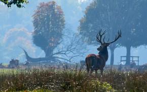 Картинка взгляд, деревья, природа, туман, олень