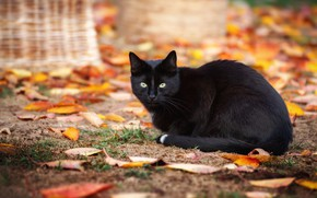 Картинка поза, взгляд, кошка, осенние, фон, природа, листья, боке, осенняя, листва, черная, черный, осень, кот