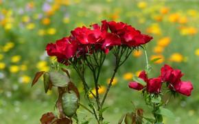 Картинка лето, фон, куст, розы, красные