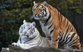 Картинка белый, взгляд, поза, темный фон, рыжий, пара, тигры, дуэт, друзья, два, молодые, морды, красавцы, два …