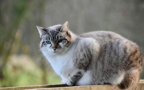 Картинка кошка, поза, голубые глаза