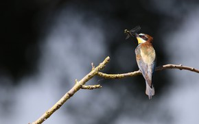 Картинка птица, ветка, стрекоза, добыча, Золотистая щурка