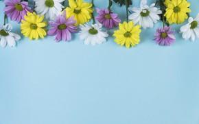 Картинка цветы, фон, голубой, ромашки, chamomile, копозиция