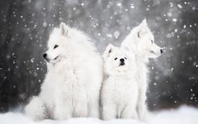 Картинка зима, животные, собаки, снег, природа, щенок, детёныш, самоед