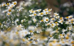 Картинка лето, цветы, ромашки, луг, белые, полевые, много