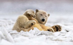 Картинка зима, снег, поза, лапы, лежит, белый медведь