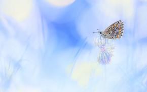 Картинка цветок, макро, свет, фон, бабочка, размытие, клевер, насекомое, голубой фон, травинки, боке