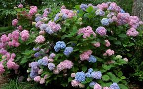 Картинка розовый, голубой, куст, гортензия