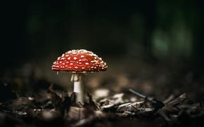 Картинка лес, природа, гриб, мухомор