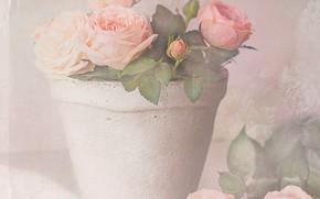 Картинка розы, горшок, нежные