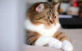 Картинка кошка, кот, взгляд, морда, поза, профиль, светлый фон, полосатый, боке, красавчик, упитанный