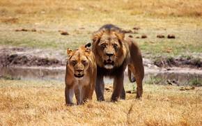 Обои поле, взгляд, поза, хищники, ситуация, лев, семья, пара, саванна, клыки, дикие кошки, двое, львы, львица, ...