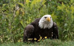 Картинка трава, взгляд, птица, хищник, хищная, белоголовый орлан