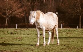 Картинка осень, белый, трава, деревья, ветки, природа, поза, конь, газон, лошадь, пастбище, ограждение, белая, стоит
