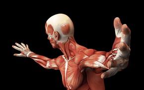 Обои muscle fiber, body, muscles, human
