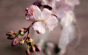 Картинка цветок, вишня, веточка, весна, сакура, бутоны, цветение, композиция