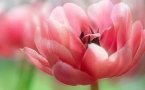 Картинка цветок, макро, фон, розовый, тюльпан, весна, лепестки, пышный, махровый