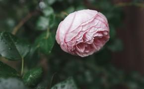 Картинка листья, капли, розовая, роза, бутон