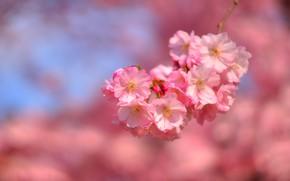Картинка цветы, фон, ветка, весна, сакура, нежные, розовые, цветение
