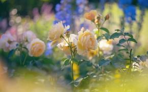 Картинка розы, жёлтые, боке