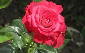 Картинка Роза, Цветок, Пышная, Mamala ©, Лето 2018, Малиновая