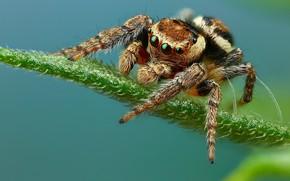 Картинка взгляд, поза, листок, паук, голубой фон, прыгун, джампер, паучок, прыгающий