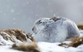 Картинка зима, Шотландия, заяц-беляк