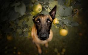 Обои взгляд, яблоки, собака
