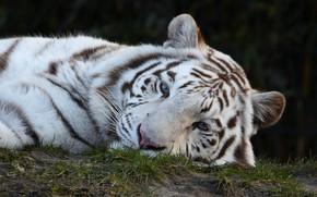 Картинка белый, взгляд, морда, тигр, фон, портрет, лежит