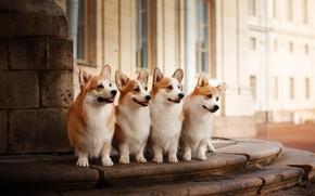 Картинка животные, собаки, здание, квартет, корги