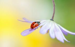Картинка цветок, макро, желтый, красный, фон, сиреневый, божья коровка, жук, размытие, лепестки, насекомое, жучок, стебелек