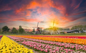 Картинка поле, закат, цветы, тюльпаны, мельницы, Нидерланды, плантация