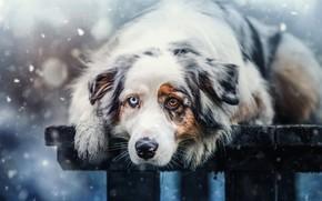 Картинка зима, взгляд, морда, снег, скамейка, природа, фон, настроение, доски, портрет, собака, лапы, лежит, снегопад, разные …