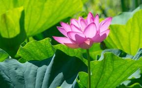 Картинка цветок, листья, свет, розовый, лотос