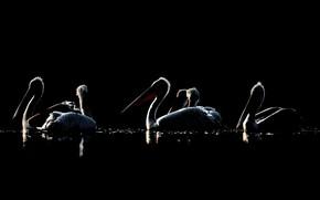 Картинка птицы, ночь, пеликаны