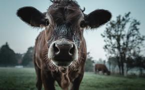 Картинка природа, корова, скот