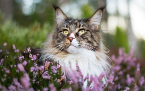 Картинка кот, портрет, мордочка, боке, мейн-кун, котейка, вереск